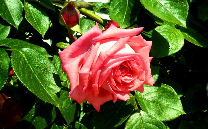 роза в болгарии