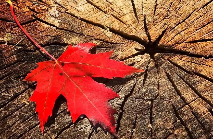 кленовый лист символ канады