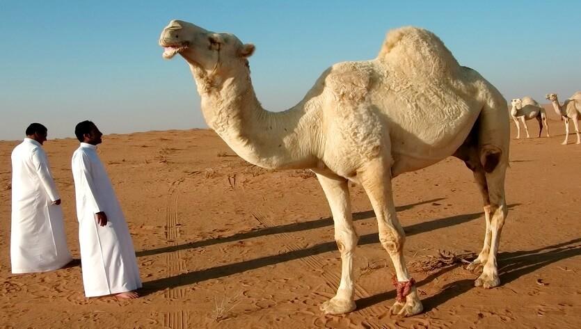 верблюд в саудовской аравии
