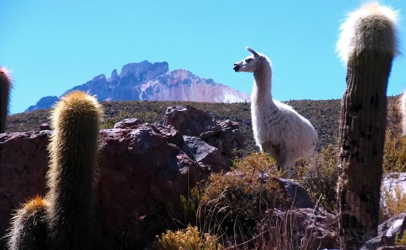 боливия лама