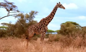 кения сафари