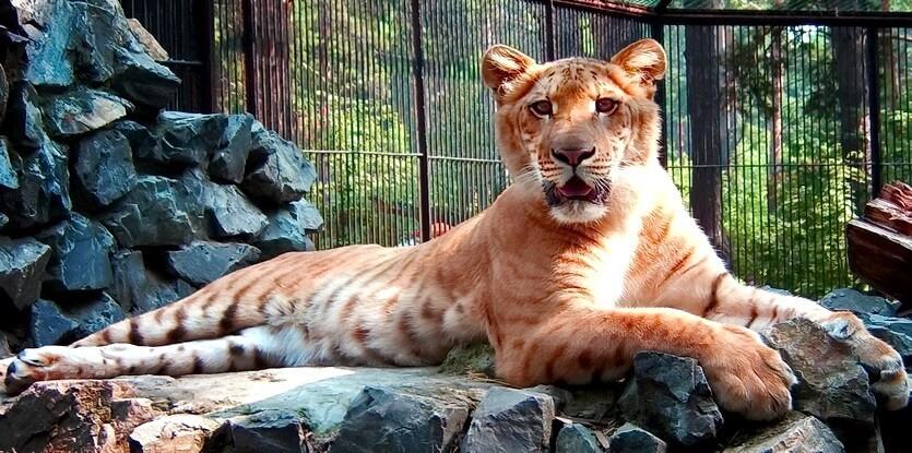 лигр в новосибирске
