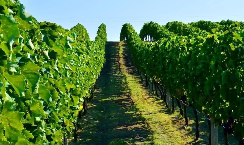 греция виноградники