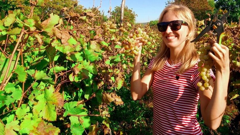 алазанская долина виноград