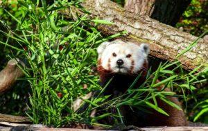 красная панда пражская