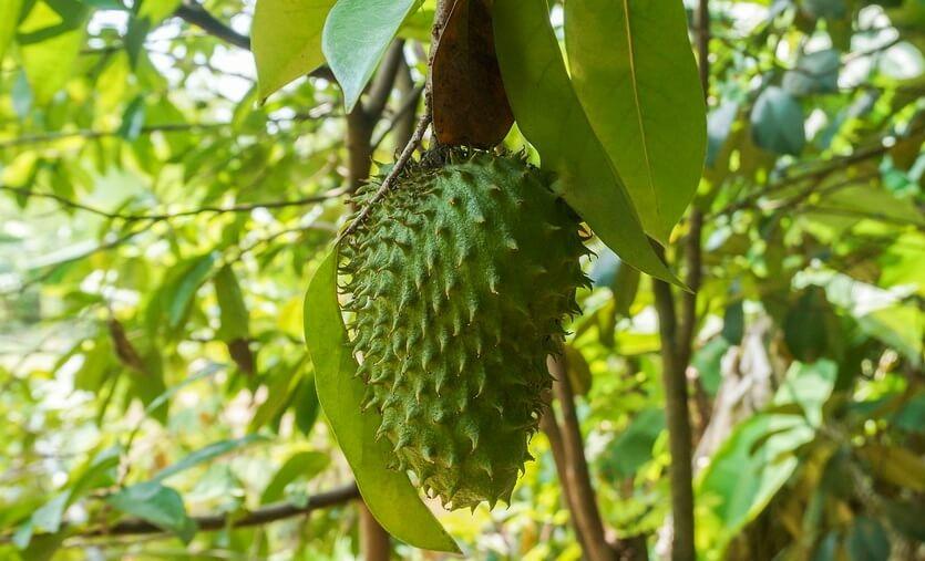 гуанабана фрукты в доминикане