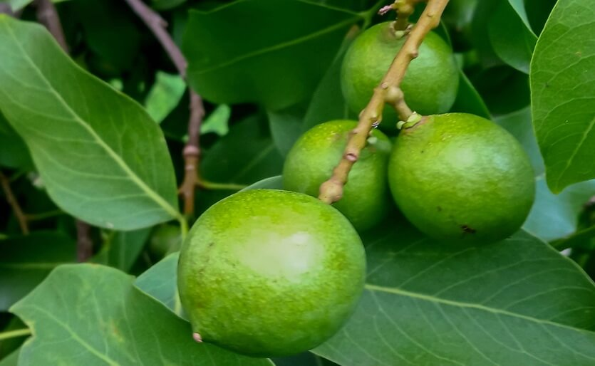 мамончилло фрукт доминикана
