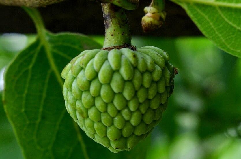 черимойя фрукты в др