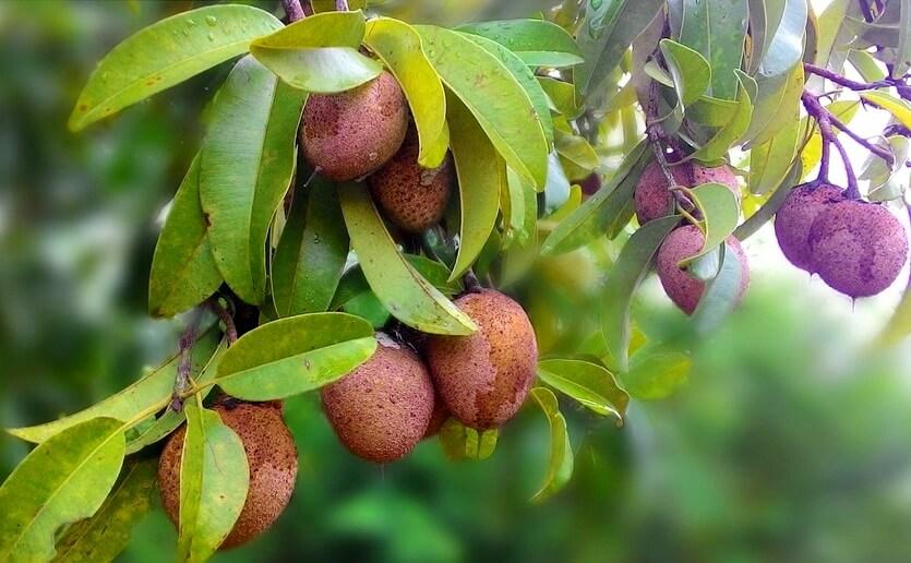саподилла помело экзотический фрукт