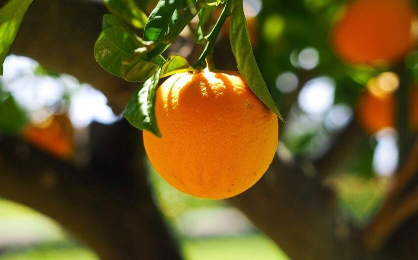 апельсины на кипре