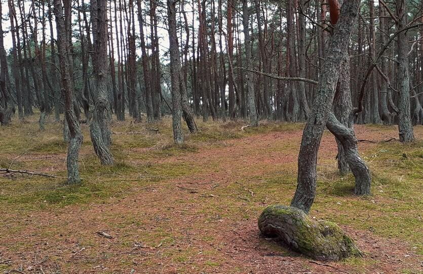 танцующий лес на косе